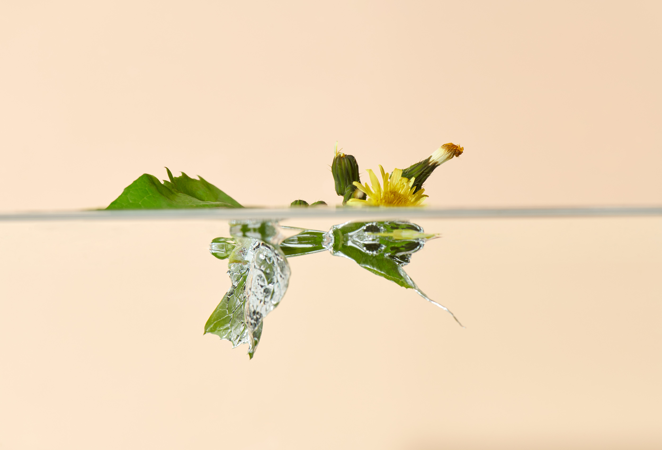Still Life: Swimming Dandelion